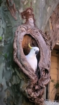 Cacatua galerita--our new neighbour
