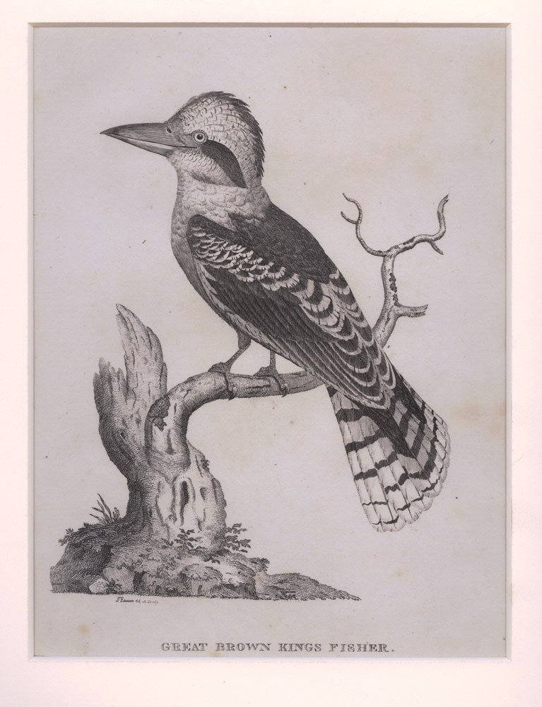 Great Brown King Fisher. S. EDWARDS, after.