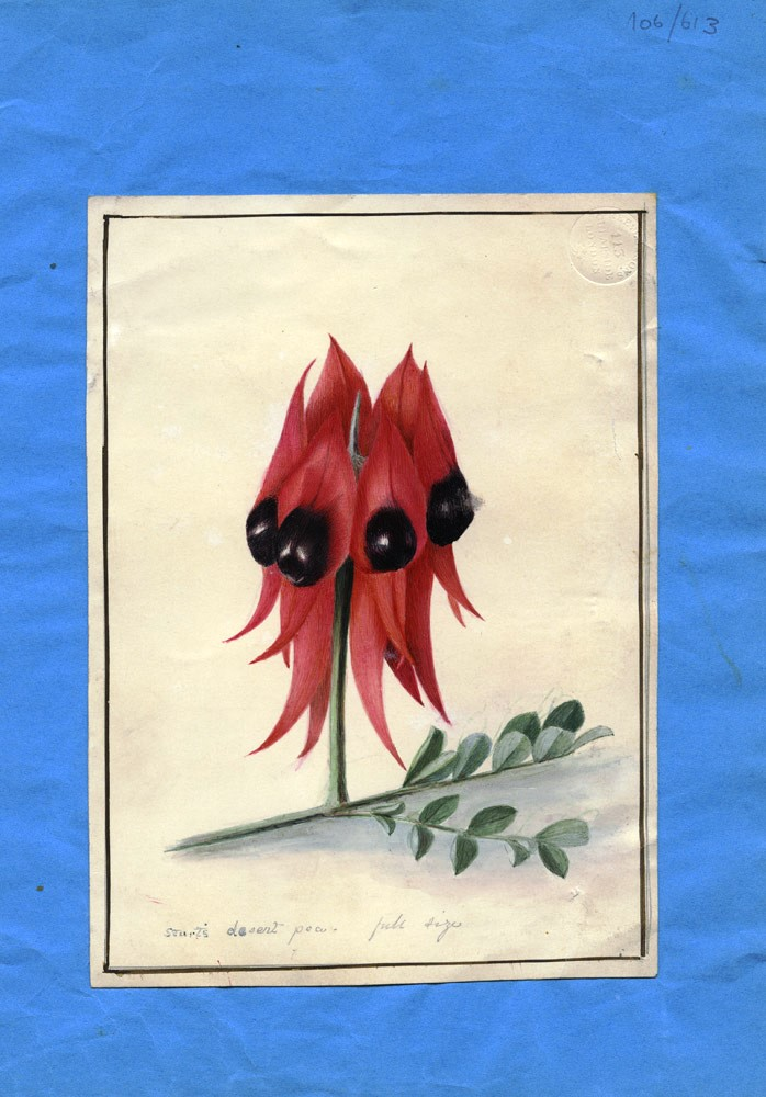 "Watercolour captioned ""Sturt's Desert Pea. Full size."" SWAINSON, ARTIST UNKOWN."