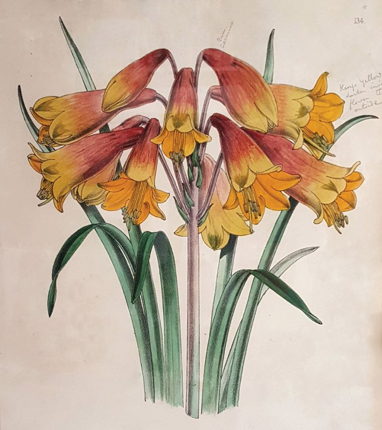 Blandfordia Flammea Elegans (Christmas Bells). Worthington George SMITH.