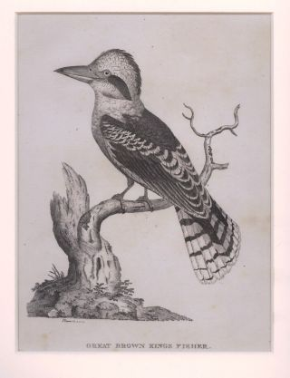 Great Brown King Fisher. S. EDWARDS, after