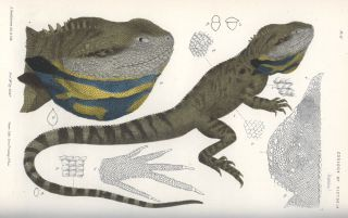 Natural History of Victoria. Prodromus of the zoology of Victoria; or, figures and descriptions of the living classes of the Victorian indigenous animals.