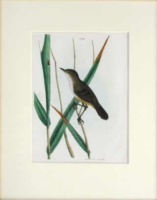 Reed Warbler. John William LEWIN