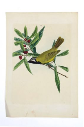 White-eared Honey-eater. John William LEWIN.