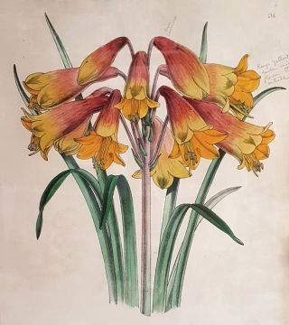 Blandfordia Flammea Elegans (Christmas Bells). Worthington George SMITH